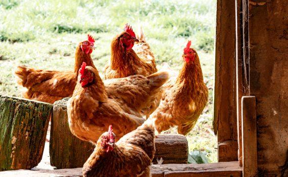 poules J&J